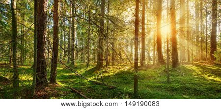 Lahemaa national park forest in september. Fir tree woods in early morning with beautiful sunlight