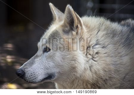 An aging white Wolf peers out from her enclosure at a rescue zoo.