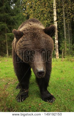 Big wild brown bear stands close and stares in a green forest