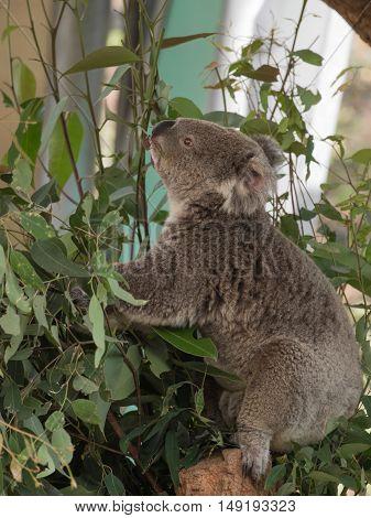 funny furry koala sitting on a eucalyptus tree Australia