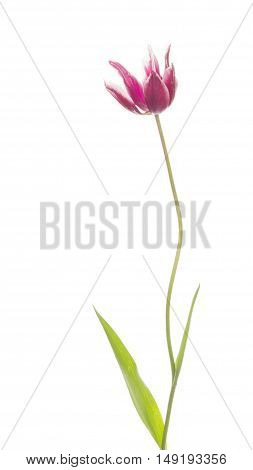 delicate white bright beautiful purple tulip on a long thin green stalk unusual varieties of lily isolated on white background