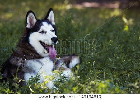 the dog breed Siberian Husky is lying on green grass