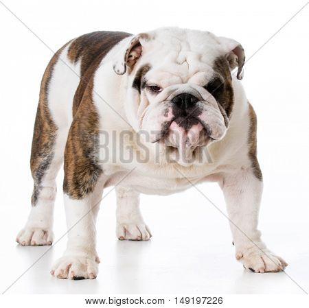 male english bulldog standing on white background
