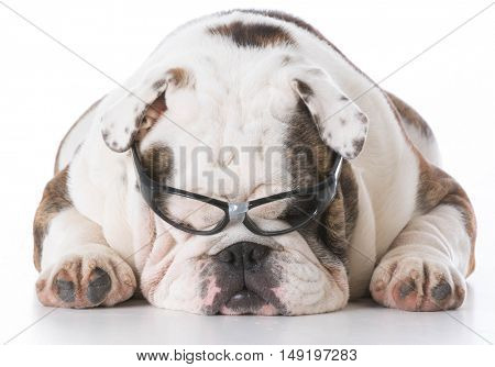english bulldog wearing nerd glasses on white background