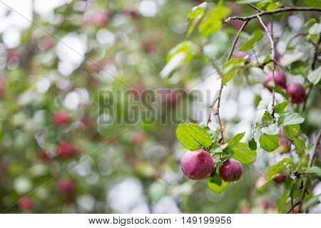 Ripe apples on the tree in autumn