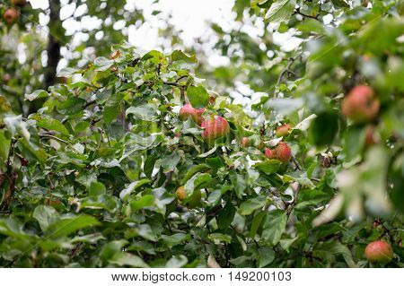 Ripe apples on the tree in the garden