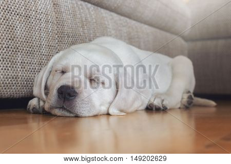 Sweet young white small labrador dog puppy is dreaming while sleeping