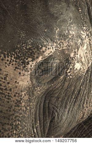 Close up photo of a elephants eye, eyelashes, wrinkles and face.