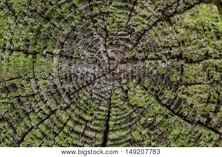 Cut of the old tree stump with green moss. Shot at close range