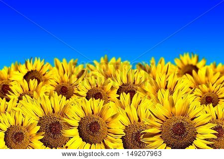 Sunflower field on a background of blue sky
