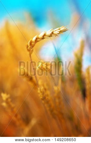Yellow wheat field in summer. Agricultural concept.