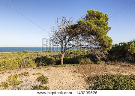 view of mediterranean pine close to the beach. Spain Alicante Guardamar del Segura