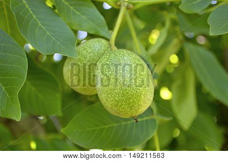 Green walnut growing on a tree summer season.