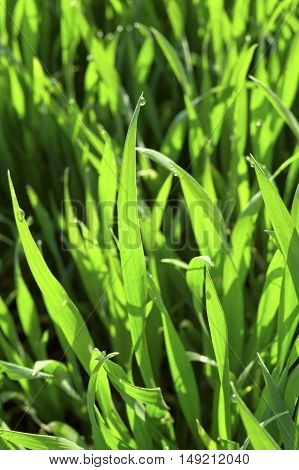 Drops of water on green grass. Spring grass.