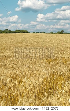Golden wheat field under a blue sky