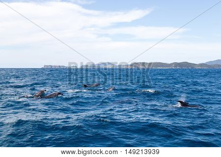 Dolphins swimming at the surface at Bay of Islands in New Zealand