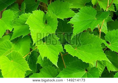 Nature background of grape leaves - in latin Vitis. Bright green grape leaves in the garden. Fresh leaves of grape - closeup view background of green grape leaves.