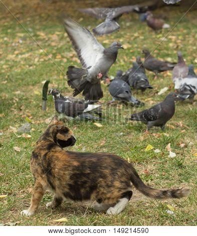 cat walks near the pigeons, she's probably hungry and wants to eat them