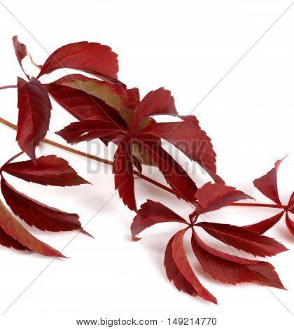Branch Of Dark Red Autumn Grapes Leaves (parthenocissus Quinquefolia Foliage)