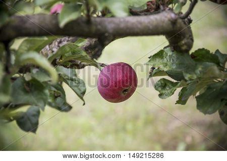 red Apple on tree in summer garden