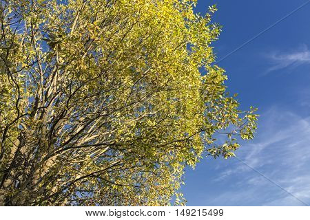 Yellow tree and blue sky