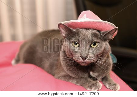 Annoyed Korat cat wearing pink hat