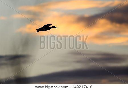 Silhouette of a Dusk Flying in the Dusky Sunset Sky