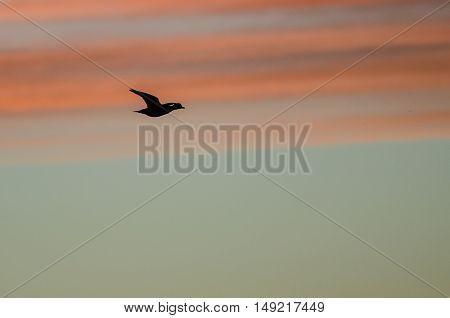 Mallard Duck Silhouetted in the Sunset Sky As It Flies