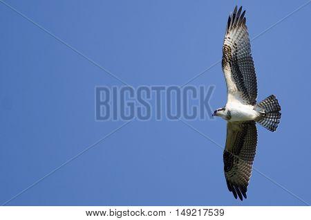 Osprey Flying in a Clear Blue Sky
