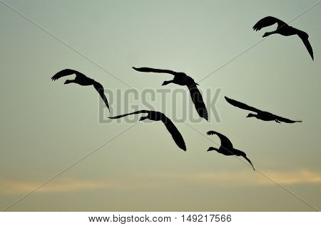 Flock of Canada Geese Silhouetted in the Sunset Sky As They Flies