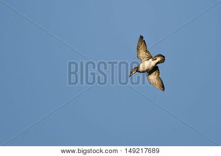 Lone Wood Duck Flying in a Blue Sky