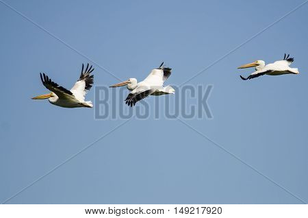 Three American White Pelicans Flying in a Blue Sky