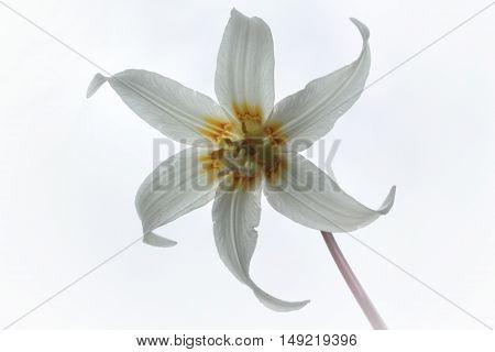 White Fawn LIly British Columbia Wild Flower