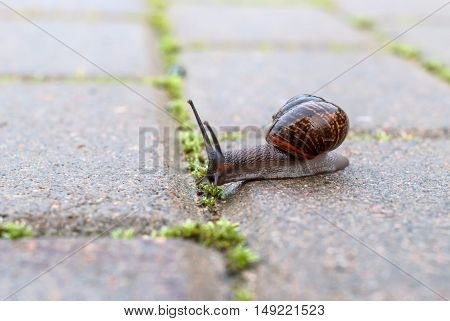Snail crawling on a cloudy day on a wet road. House snail shines like lacquer.