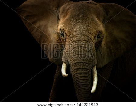 Photo illustration of a front facing African elephant spot lighted against a black background.