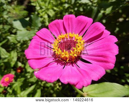 Closeup on a hot pink perennial daisy flower blooming in the garden