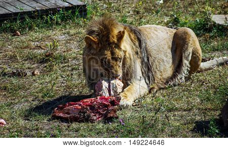 One lion eating meat on grass, hot sunny day