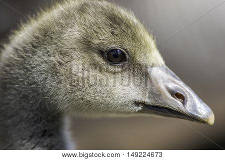 Close up of a Greylag gosling (Anser anser)