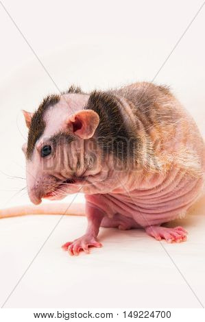 Bald sphinx rat.Hairless animal Sitting on a white background