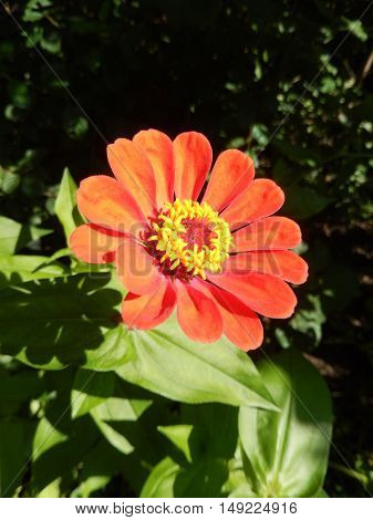Closeup on an orange perennial daisy flower blooming in the garden