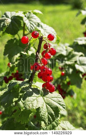 Tasty red currant berries on a bush in the garden