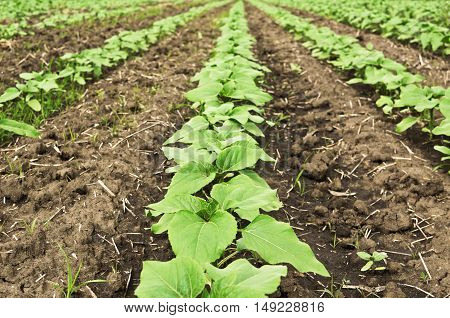 Rows of young sunflower crops in field