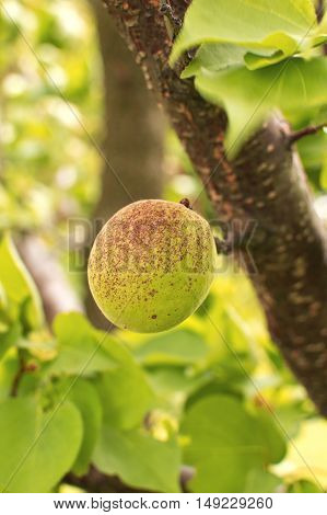 Unripe apricot grow on a branch among green leaves. Selective focus with shallow depth of field.