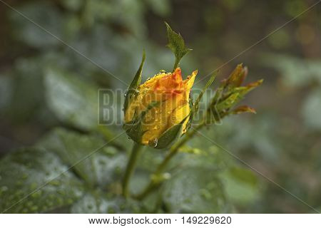 Fresh yellow rose flower with rain drops. Soft focus.