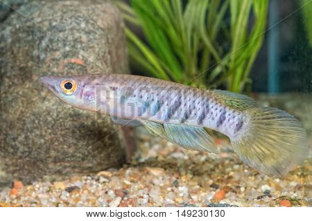Portrait Of Fish (epiplatys Spilargyreius) In Aquarium