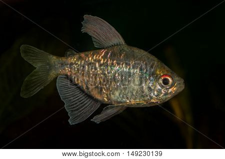 Portrait Of Tetra Fish (moenkhausia Pittieri) In Aquarium