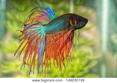 Portrait Of Betta Fish (betta Splendens) In Aquarium