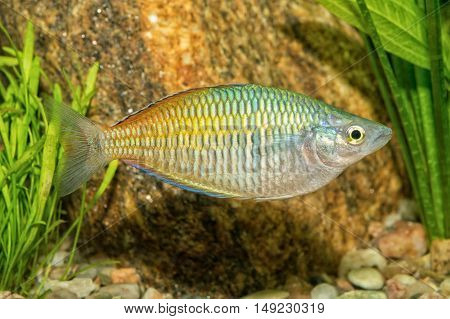 Portrait Of Rainbowfish (melanotaenia Boesemani) In Aquarium