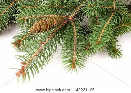 fir-tree branch with cone isolated on a white background.
