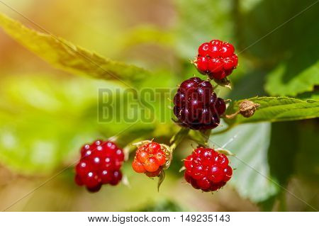 Ripe and unripe blackberries on the bush with selective focus. Bunch of blackberries. Berry background